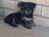 I have 3 boy Yorkies for sale. They were born May 24. I
