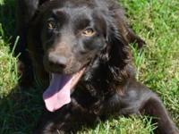 Sam is a year old, intact, registered, Boykin Spaniel.
