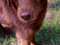 Boykin Spaniel - Baily - Medium - Adult - Female - Dog
