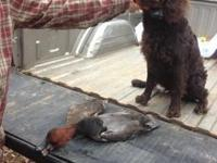 3 Beautiful Boykin Spaniel puppies, 2males and 1 girl