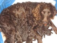 Boykin Spaniel puppies birthed 4/23/14, ready for