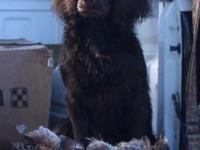 Registered Boykin Spaniel Culture (BSS) likewise signed