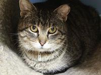 Boz's story Boz is a female, DSH gray/brown Tabby,