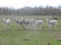 Cattle for sale. For sale 9 registered gray brahman