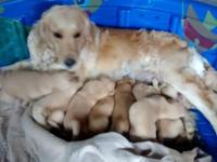 9 Pure Golden Retriever puppies born July 5th 2015. Six