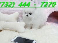 Teacup Pomeranian Puppies $600 each!!! (  )..Loves to