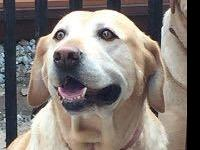 Brandy: 7 year old female yellow Lab 88 pounds, not-yet