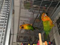 Brandy, a Sun Conure and Squeege, a Sunday Conure are a