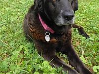 My story Brandy is a7-year-old spayed female black lab.