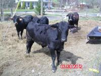 I have three nice Brangus bulls for sale 2 of them