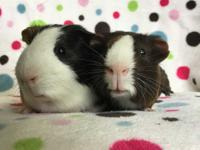 Bratushke and Bredrin are a bonded pair of male guinea