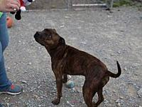 Braveheart's story Braveheart is a male brindle pit