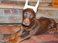 Bray is a red/rust Champion World Winner sired Doberman