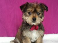 Bonjour, Im Brea. The delightful female Morkie you