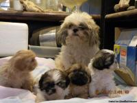 Adorable breathtaking purebred Shih-Tzu puppie for