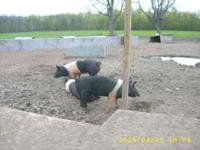 I have bred gilts for sale, Duroc/ yorkshires - bred to