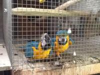 1 pair of verified gold and blue macaws and 1 pair of