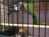 Breeder Pair of Quakers, Female Blue, Male Green/blue,