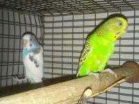 No longer wanting to be a breeder. Pair of Parakeets
