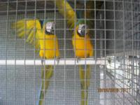 Breeder Parrots For Sale with cage and Breeding Box 4