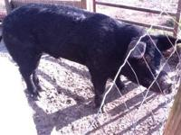 One black breeder pig (Boar) 250 - 300 lbs. Fed only