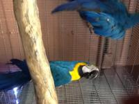 Proven bred pair, fully guaranteed Blue And Gold
