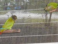 Proven pair gray Indian Ringnecks, throw blue babies