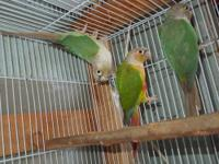 I have 1 pair of lovely conure, male is pineapple,