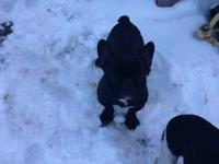 I have a pair of French bulldog that am selling .Will