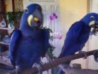 Proven pairs of Blue and Gold macaws, Hyacinth macaws,