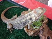 Adult Pair of Bearded Dragons Male German Giant --$75