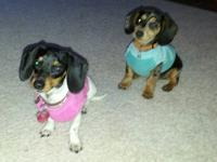 I have two full blooded dachshunds that I am interested