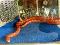 We have a breeding pair of corn snakes.. the female is