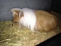 I have an adult breeding pair of long haired guinea