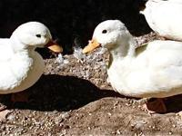 One breeding pair of white Call Ducks, Marvin & Marly