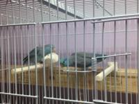 Hi , i have a breeding pair parrotlets For sale blue