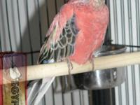 I have for sale one breeding pair of ROSY BOURKE PARROT