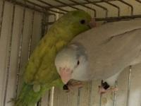 I have a few pairs of parrotlets for sale Green pastel