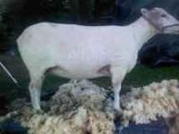 several ewes and a ram for sale. texels, dorsets and