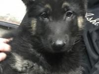 Hi! I'm Breezy, a 12-week-old male shepherd mix. I am
