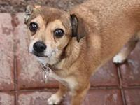 Brennan's story Brennan is a 7 year old chihuahua mix