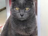 Brianna is an outgoing Russian Blue. She loves to greet