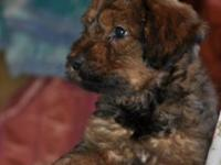 Luxury Briard young puppies are for sale. Born upon