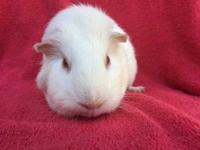 Bridey is a pink eyed white female guinea pig, born