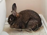 Bridget is a beautiful brown rabbit about 3 years old.