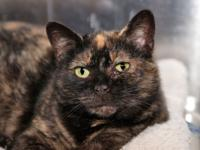 Brienne is a 6-year-old kitty who came to LHS due to