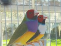 This is one of one of the most popular Lady Gouldian