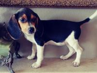 Brilliant M/F Beagle Puppies For Lovely Homes.We have