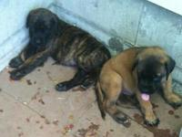 We have two puppies left for sale, a male brindle and a