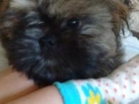 Last puppy 12 weeks old utd on shots dewormed potty